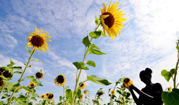 sunflower2 600