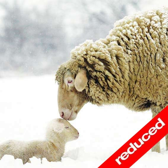Self Help Africa Christmas Card Winter Sheep