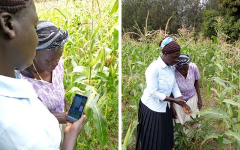 Inspecting damage to maize using AI