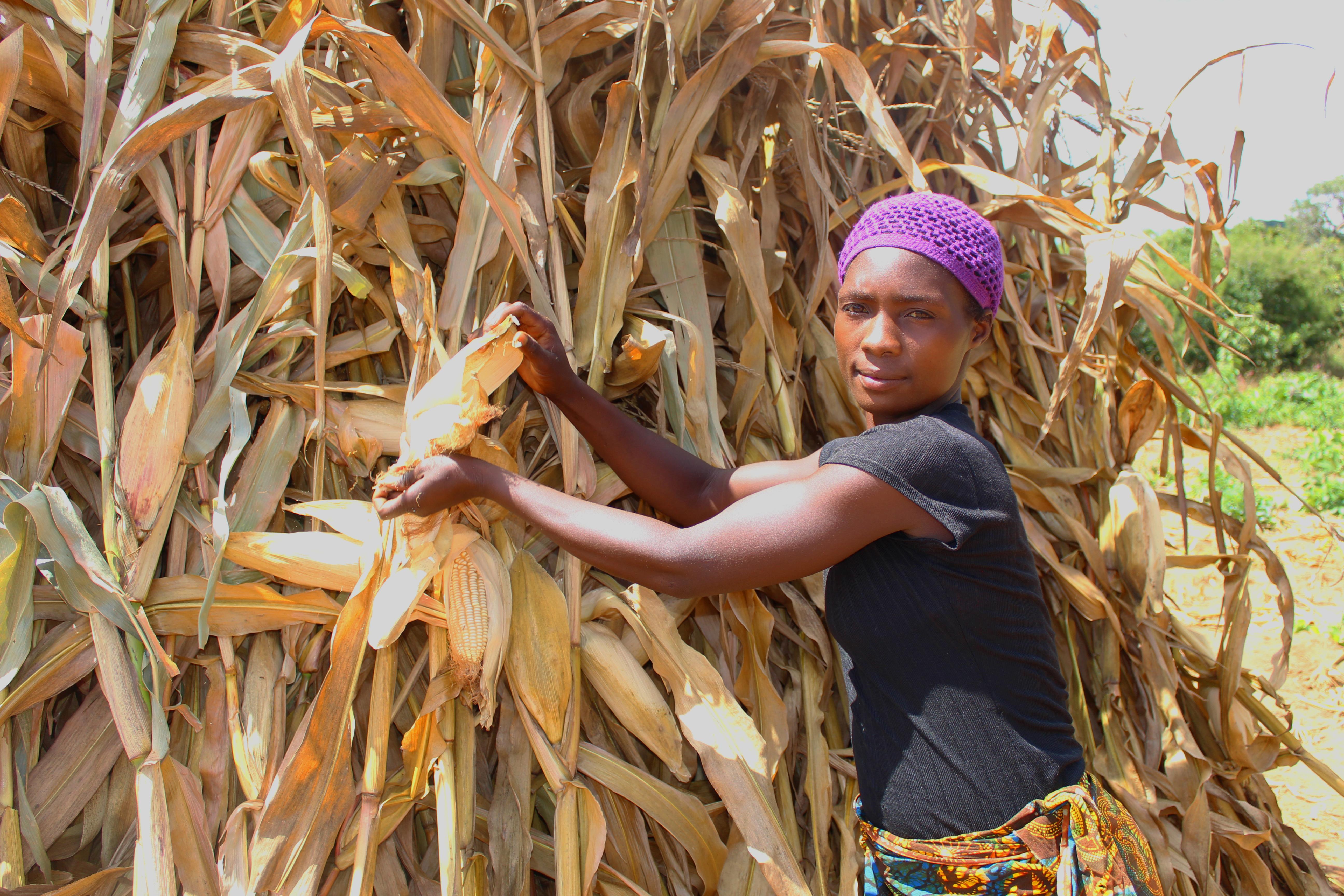 Merinda Harvesting Maize